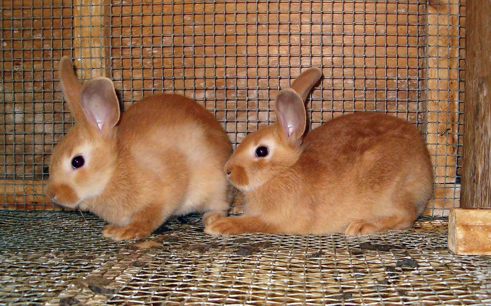 palomino rabbits - photo #2